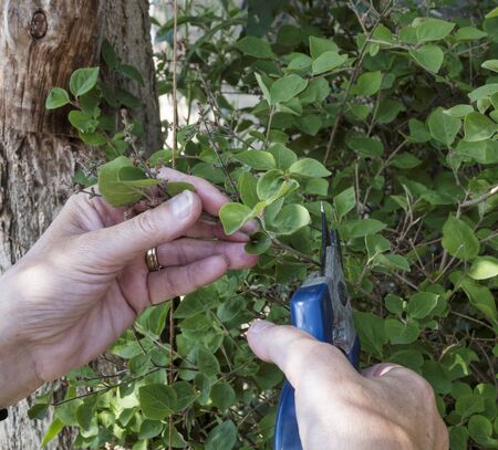 pruning plants like here a woman pruning a lilac with a pruning shears and removing the dead flowers