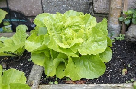 a vegetable garden with fresh lettuce for a delicious healthy meal
