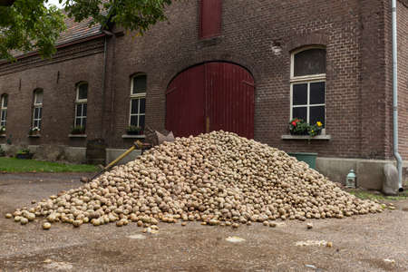 a large stack of potatoes for consumption fresh from the land for the farm