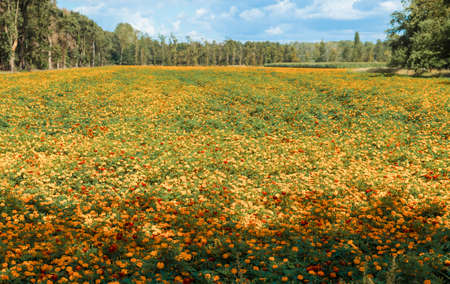 large filed of Orange Tagetes marigold flowers in limburg,these are cultivated as fertilizer to combat poisonous nematodes Banco de Imagens