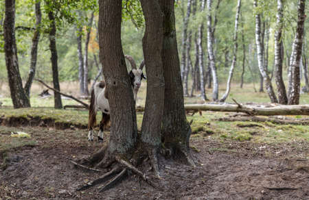 male goat with big horns looks through the trees in a great forest in nature are maasduinen in holland