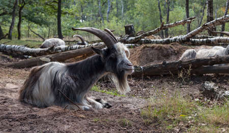 male goat with big horns laying ont he ground in a great forest in nature are maasduinen in holland