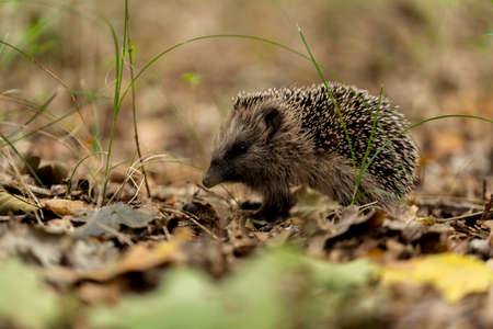 young hedgehog in the wild, in a forest in holland