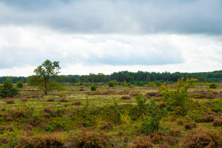 heather fields in the veluwe in the netherlands during autumn with heather and greenery in the foreground