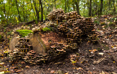 large group of mushrooms on a tree stump in the Veluwe in autumn with green moss in between Banco de Imagens