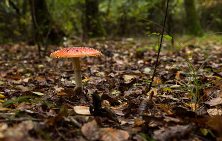 Amanita muscaria mushroom with red and white dots macro in autumn forest Banco de Imagens