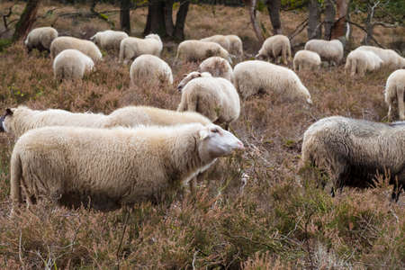 flock of sheep grazing in national park de veluwe in holland
