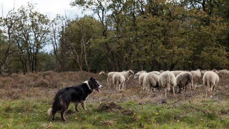 a border collie while herding a flock of sheep , he is very alert and waiting for commands of the shepard Banco de Imagens