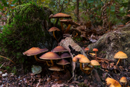 group of fungi in the forest during autum with the trees and leaves as background Banco de Imagens