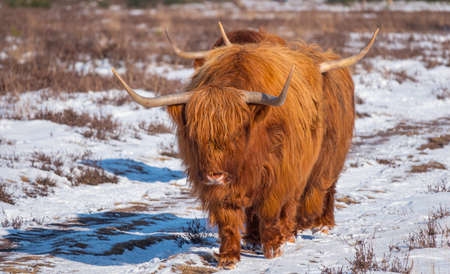 impressive scottish highlanders with big horns walk in the snow facing the camera