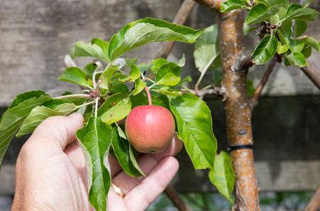ready to eat apple tree in garden