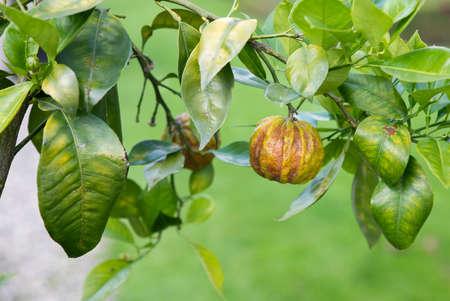 citrus aurantium consolei tree Foto de archivo