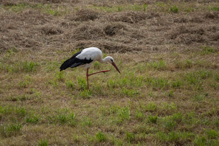 black and white stork bird