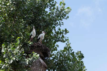 two stork birds on a nest high in a tree Foto de archivo