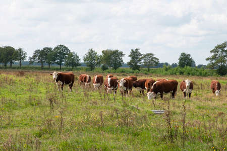 A groiup of blaarkop cows in dutch nature