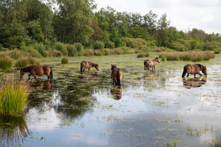 a group of horses in the water in holland