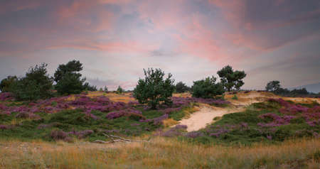 heather fields and dunes in holland