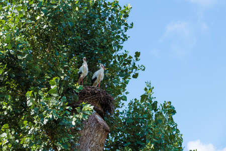 couple of stork birds high in a tree