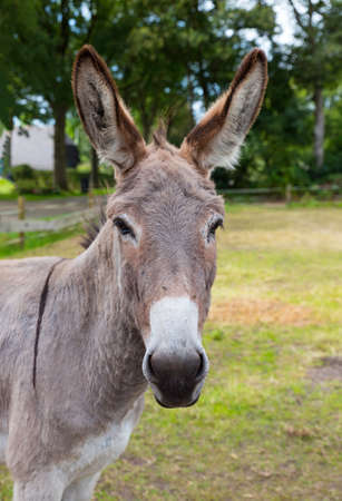 donkey closeup with green field as background