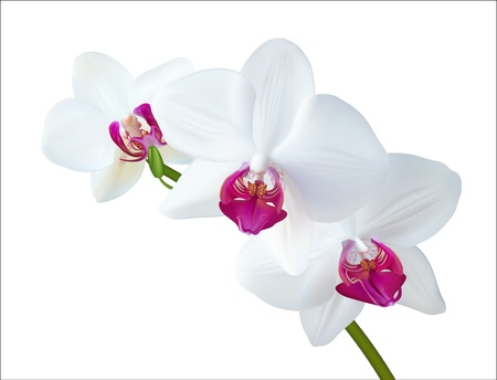 white orchid:  illustration of white orchid isolated on white