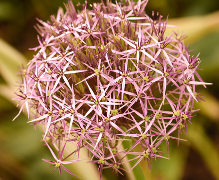 Rose allium