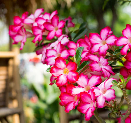Adenium obesum  Desert Rose; Impala Lily; Mock Azalea Stock Photo - 26826120