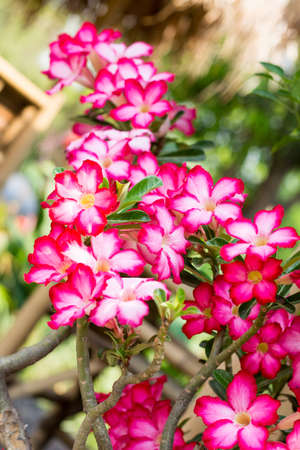 Adenium obesum  Desert Rose; Impala Lily; Mock Azalea   Stock Photo - 26826121