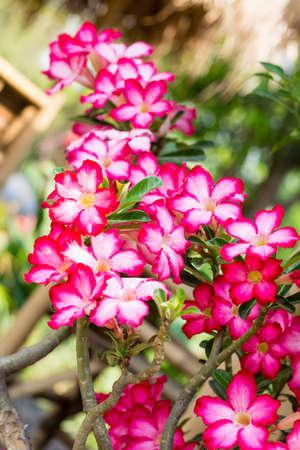 Adenium obesum  Desert Rose; Impala Lily; Mock Azalea Stock Photo - 26826121