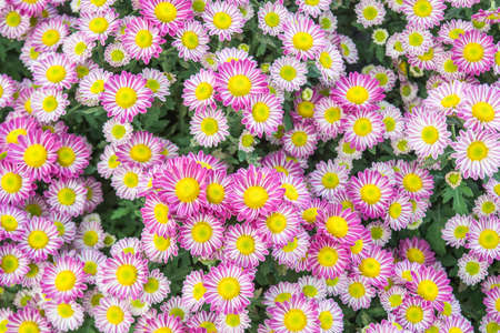 green brown: Top view of Florists Mun flower background,pink and white flower