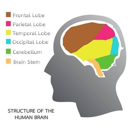 정면: 인간 두뇌의 구조
