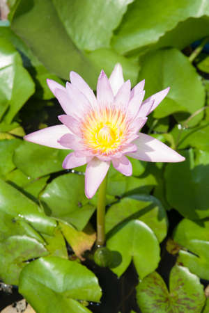 lotus blossoms or water lily flowers blooming on pond photo