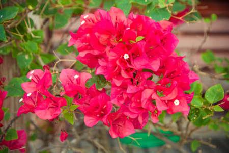 hybrida: Bougainvillea hybrida, Paper flower