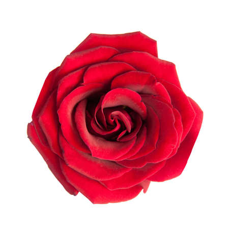 red rose: red rose isolated on white background
