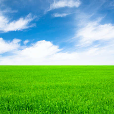 green rice field and bright blue sky  photo