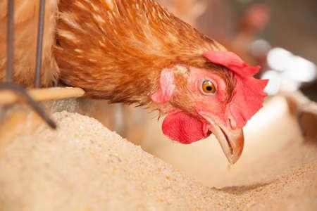 ローカル ファームの卵鶏