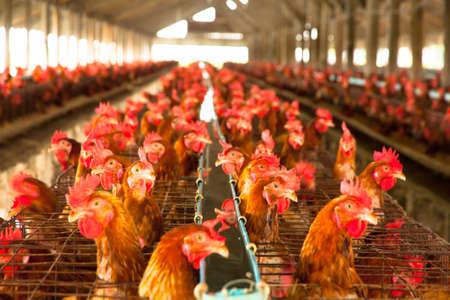 ローカル ファームの卵鶏 写真素材 - 22271833