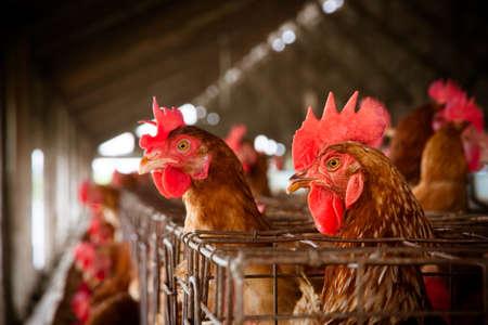 Eier Hühner auf der lokalen Farm