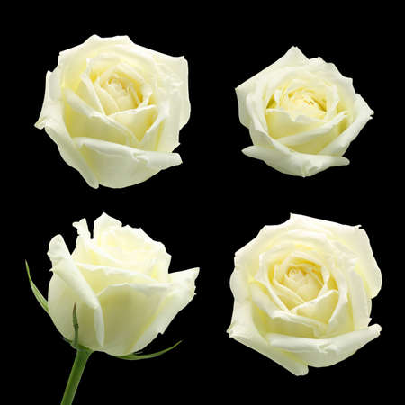 white rose isolated on black background  photo