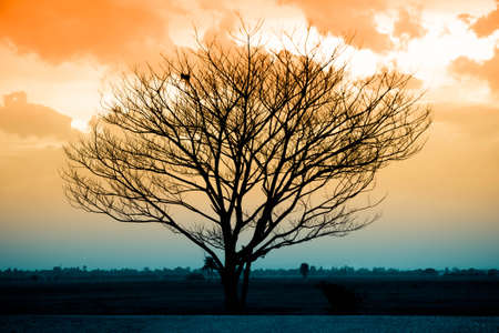 Silhouette of dry tree at sunset photo