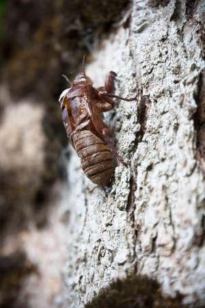cicada molt on the tree photo