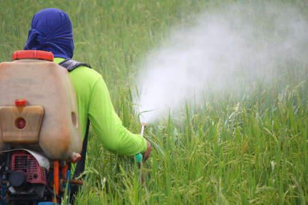 pesticides: farmer spraying pesticide in the rice field