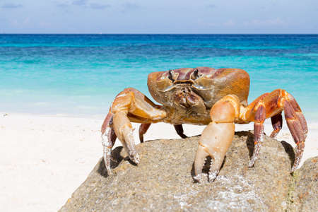 Hairy leg mountain crab, Tachai island, Phang Nga Province, Thailand Stock Photo