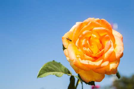 rosas naranjas: Rosas de color naranja y abeja en el cielo azul