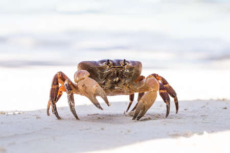 phangnga: Hairy leg mountain crab, Tachai island, Phang Nga Province, Thailand Stock Photo