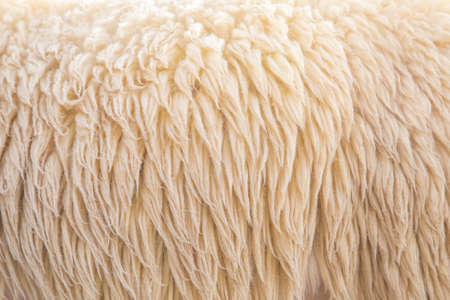 wooly: wool sheep Stock Photo