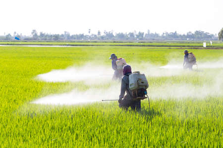 farmer spraying pesticide in the rice field