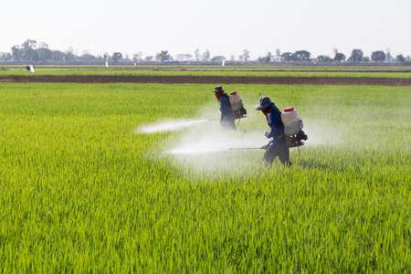 granjero rociar pesticidas en el campo de arroz