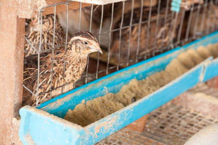 Quail in a cage