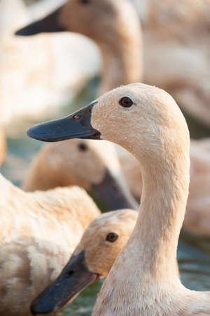 the ornithology: Brown ducks in farm Stock Photo