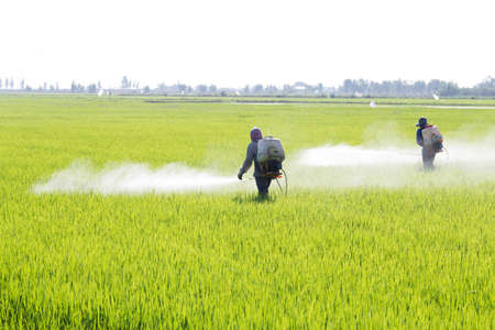 Farmer spraying pesticide in the rice field, Thailand Stock Photo